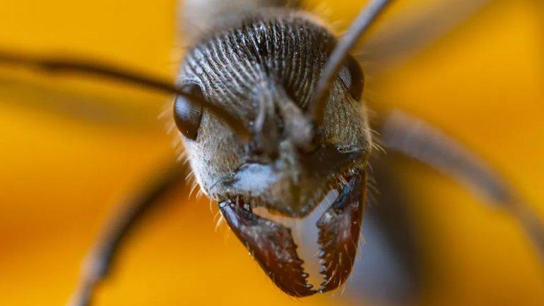 Karınca dişlerinin ardındaki güç