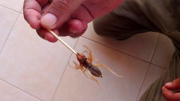 Son dakika haberi: Evde görülen et yiyen örümcek korkuttu