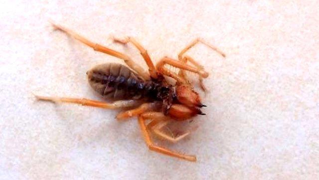 Evde görülen et yiyen örümcek korkuttu