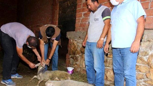 Kula'da 30 büyükbaş ve 100 küçükbaş telef oldu! Şüpheli ölümler nedeniyle inceleme başlatıldı