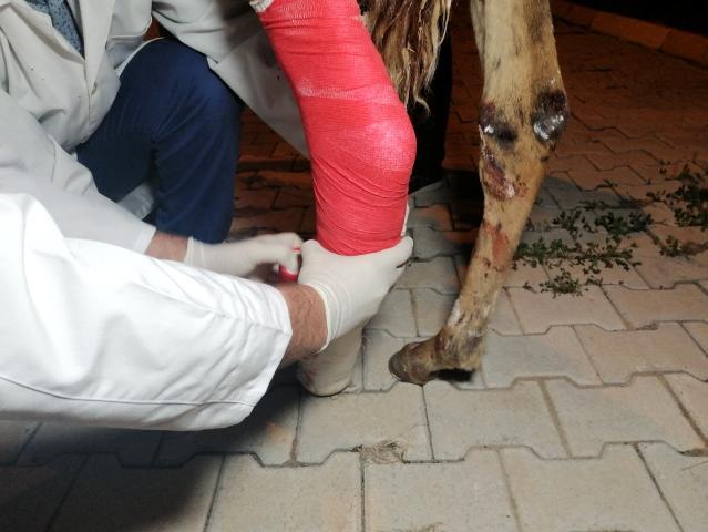 Önce tedavi etti, sonra sarıldı: Yaralı tay ile belediye görevlisinin o anları yürekleri ısıttı