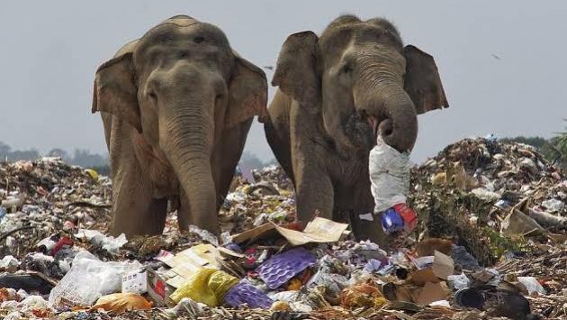 Çöpler canlı yaşamına büyük tehlike: Plastik atıklar 8 bin fili öldürdü